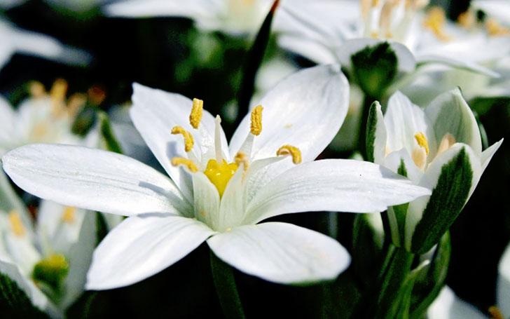 オーニソガラムの育て方。球根の植え付け・植え替えはいつ?水やり・肥料と花後の管理は?