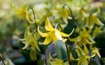 キバナカタクリの育て方。球根の植え付け時期・方法・最適な場所は?花後と夏の管理について。