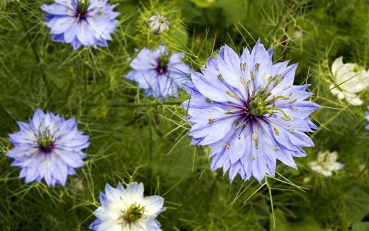 ニゲラの育て方。名前の由来は?種まきや植え付けの時期・方法は?