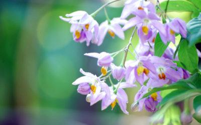 ツルハナナスの育て方。植え付け・土作りの方法は?花後の処理・剪定の時期は?