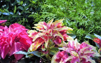 ハゲイトウの育て方。色づく季節は?種まき・植え付けの方法は?