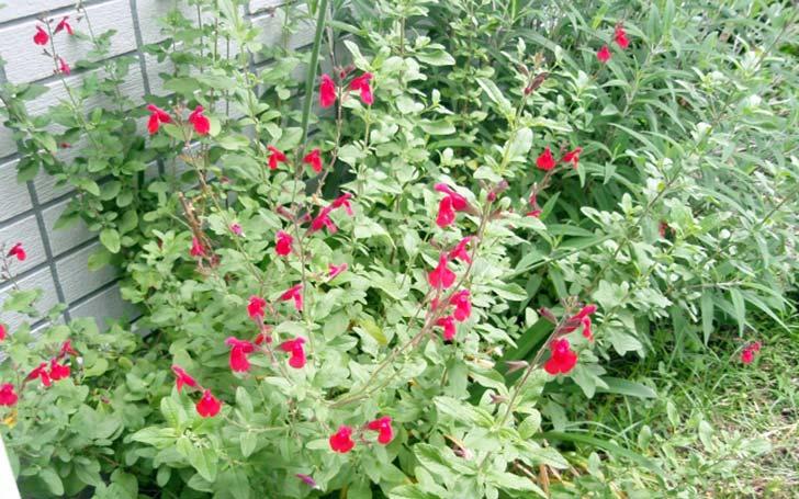 セージの育て方。土作り・水やり・肥料は?剪定は必要?葉の収穫時期は?