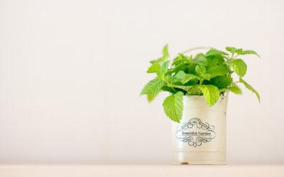 ミントの育て方。種まきや苗の植え付け、最適な場所について。剪定や葉の収穫はいつ?