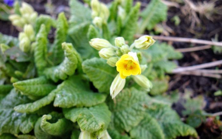 カウスリップ(プリムラベリス)の育て方。種まき・発芽温度・植え付けは?開花・収穫時期は?