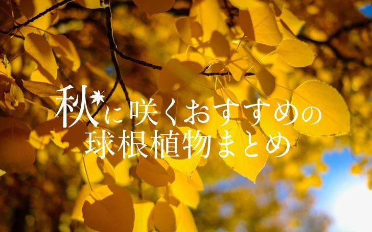秋に咲く育てやすい球根植物5選!おすすめの夏植え球根まとめ。