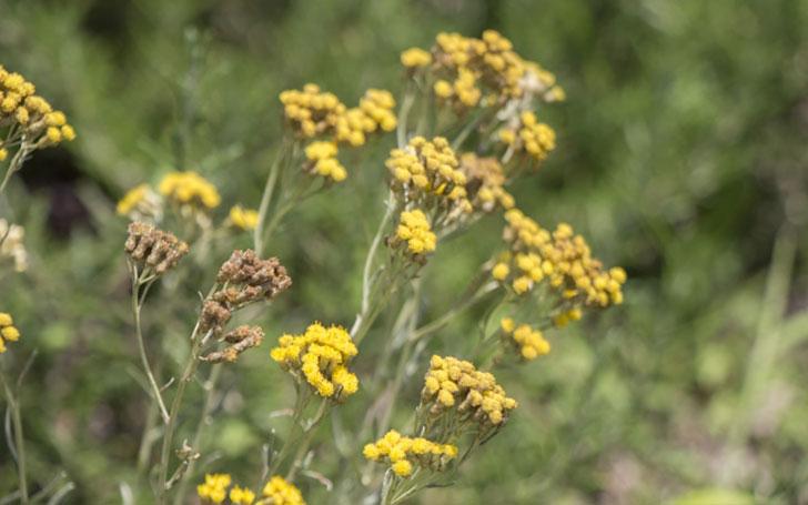 カレープラントの育て方。種まきや植え付けの方法。開花・収穫の時期、増やし方は?