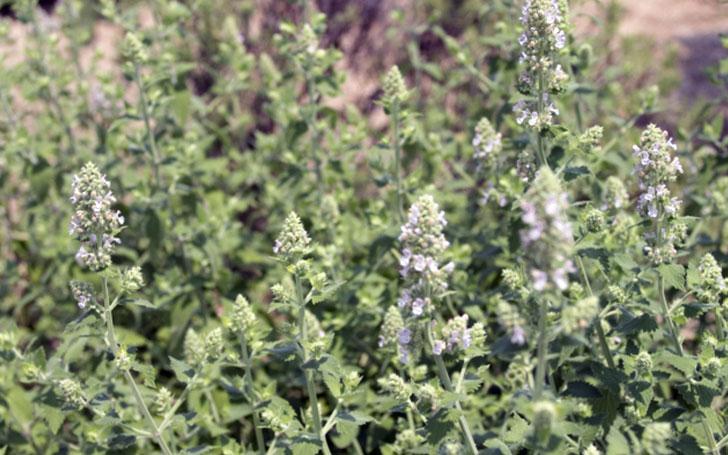キャットニップの育て方。種まきや植え付け・肥料の与え方。摘心・剪定・収穫はいつ?