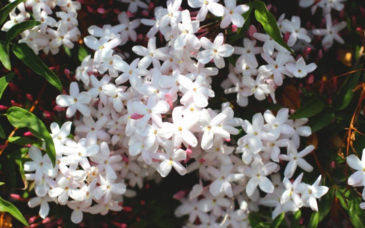 ジャスミンの育て方。植え付けの方法は?剪定・挿し木・花の収穫はいつ?