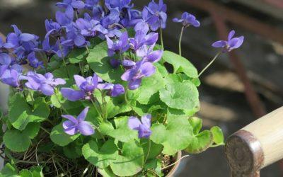 スイートバイオレット(ニオイスミレ)の育て方。種まき・植え付けの方法。収穫はいつ?