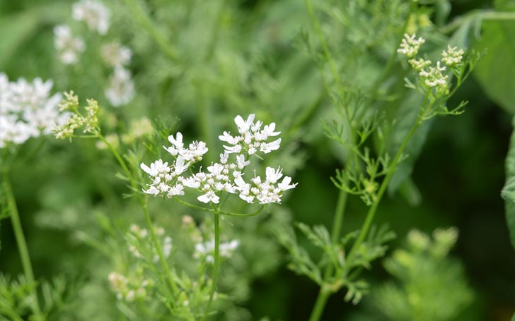 チャービルの育て方。種まき・植え付けの方法は?葉の収穫や花がら摘みは?