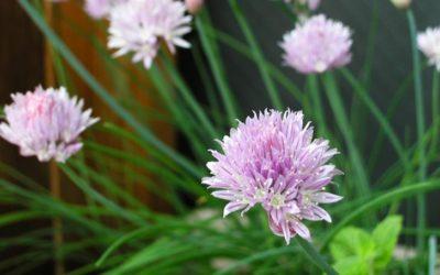 チャイブの育て方。種まき・植え付けの方法は?葉の収穫や冬の管理は?