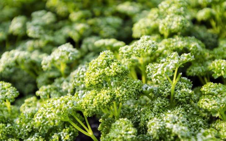 パセリの育て方。種まき・植え付けの方法。水やりの頻度・葉の収穫は?