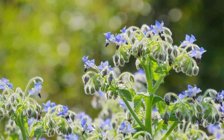 ボリジの育て方。種まき・植え付け・必要な肥料について。ハーブの利用方法は?