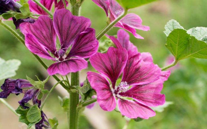 マロウの育て方。種まきや植え付けの方法は?摘心・剪定・収穫時期は?