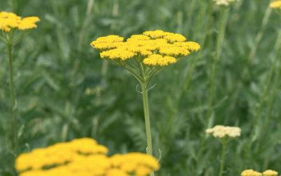 ヤロウの育て方。種まき・植え付けの方法。剪定・切り戻しは必要?冬の管理は?
