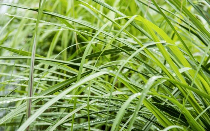 レモングラスの育て方。植え付け方・水やり・肥料について。冬越し・収穫の方法は?
