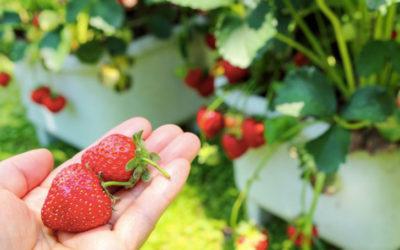 プランターを使ったイチゴ(苺)の育て方。植え付けの方法と水やり・肥料がポイント。