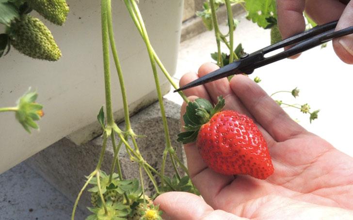イチゴを収穫するまで