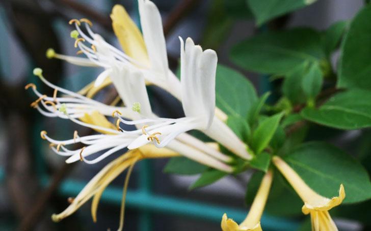 ハニーサックル(スイカズラ)の育て方。剪定の仕方は?植え付け・開花の時期は?