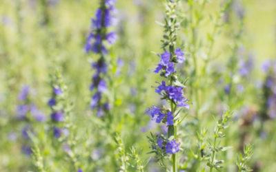 ヒソップの育て方。種まき・植え付け・水やりの方法。摘心・切り戻しは必要?