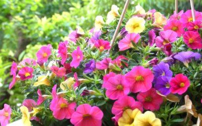 カリブラコアの育て方・栽培方法のコツ