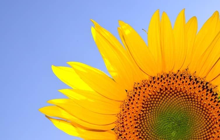 ひまわりの花が咲かない原因は?ひまわりをきれいに咲かせるための対策法。