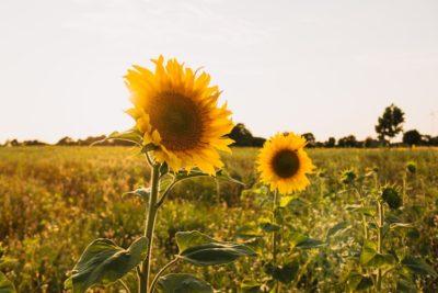 ひまわりの葉っぱが枯れる・黄変する原因は?原因となる環境・病気・害虫について。