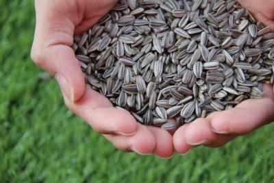 ひまわりの種の取り方は?ひまわりの種の収穫方法について