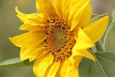 ひまわりとは?ひまわりの特徴や原産地、花言葉について